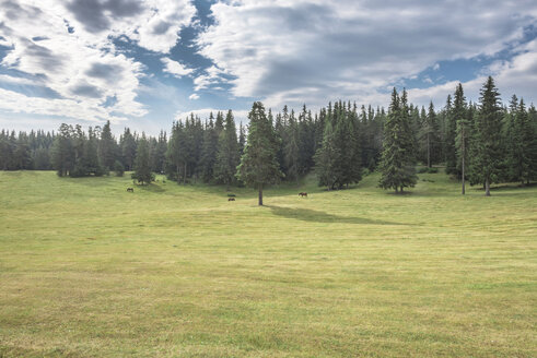 Bulgaria, Rhodope Mountains, three horses grazing on a meadow in front of fir forest - DEGF000496