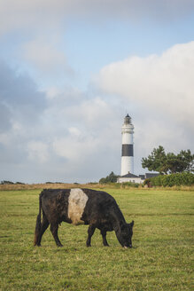Germany, Sylt, Kampen, view to light house 'Rotes Kliff' with cow grazing in the foreground - KEBF000245