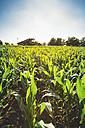 Corn field - BZF000198