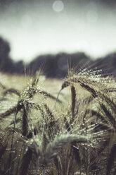 Barley field, barley with rain drops, Hordeum vulgare, close up - DWIF000564