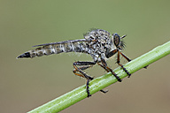 Common robberfly on wet blade of grass - MJOF001049