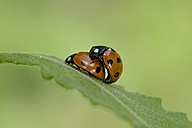 Two copulating seven-spotted ladybirds - MJOF001051