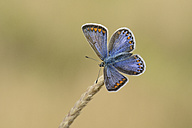 Chalkhill blue on a spike - MJOF001055