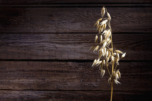 Ripe spike of oat, Avena, on wood, copy space - CSF026268