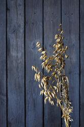Ripe spike of oat, Avena, on wood, copy space - CSF026244
