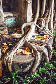 Big roots of a tree - EHF000166