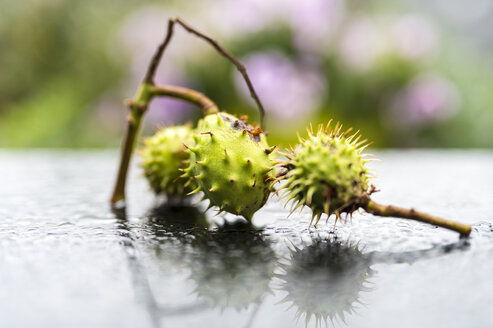 Three horse chestnuts on wet metal - FRF000312