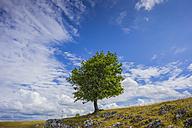 Germany,  Baden-Wuerttemberg, Swabian mountains, Eselsburg valley, single pasture beech - WGF000711