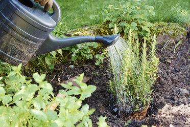 Gardener watering rosemary in a backyard herb garden - HAWF000844