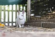 White rabbit - CHPF000158