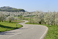 Germany, Black Forest, rural road through blossoming cherry trees orchards in spring - RUEF001630