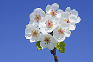 Germany, Bavaria, blossoming branch of a peach tree against blue sky - RUEF001635