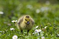 Canada goose, Branta canadensis, gosling - ZCF000261