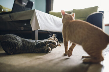 Two tabby cats play fighting in appartment - RAEF000443
