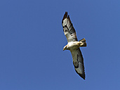 Buzzard in flight - ZCF000285