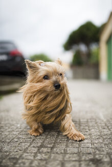 Portrait of Yorkshire Terrier with blowing hair - RAEF000453