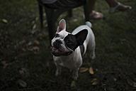 French bulldog on a meadow - RAEF000429