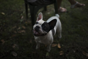 French bulldog on a meadow - RAEF000429