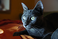 Russian blue lying on bed at night - GEMF000345