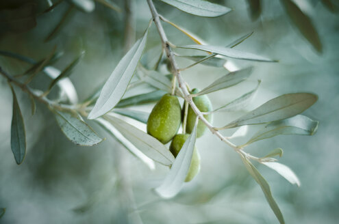 Green olive on tree - CZF000223