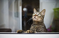 Tabby cat looking up through a wet window - RAE000457