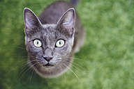 Russian blue looking up to camera - GEMF000352