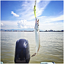 Barracuda caught with plastic wobbler lure from fishing boat. Coast line of Nuevo Vallarta, Mexico in background. - ABAF001901