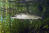Germany, Bavaria, Northern Pike in a lake - ZC000291