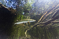 Germany, Bavaria, Northern Pike in a lake - ZC000292