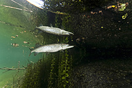 Germany, Bavaria, Northern Pike in a lake reflected at water surface - ZC000302