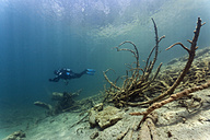 Austria, Tyrol, diver and sunken trees in Blindsee lake - ZC000298