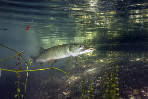 Germany, Bavaria, Northern Pike in a lake - ZC000301
