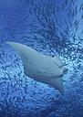 Micronesia, Palau, Manta alfredi - TOVF000024