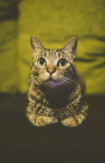 Portrait of tabby cat laying on couch at home - RAEF000461