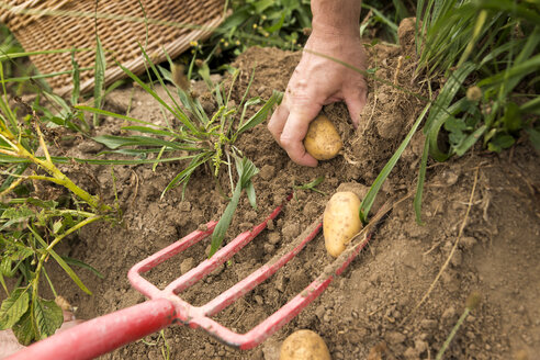 Man harvesting potatoes by hand - MIDF000639