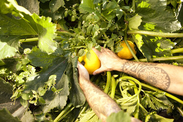 Man's hands harvesting yellow courgettes - MFRF000438