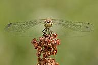 Common darter on a blossom - MJOF001079