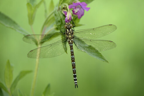 Southern hawker hanging on a blossom - MJOF001075
