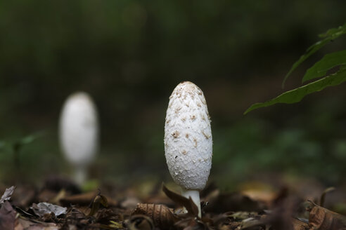 Germany, white mushroom in the woods - JTF000688
