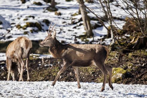 Germany, Berchtesgaden, red deer in winter - ZCF000304