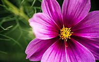 Detail of a garden flower, Cosmos bipinnatus - MGOF000681
