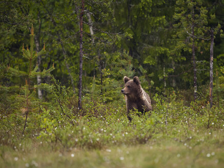 Finland, brown bear, Ursus arctos, young animal - ZC000314