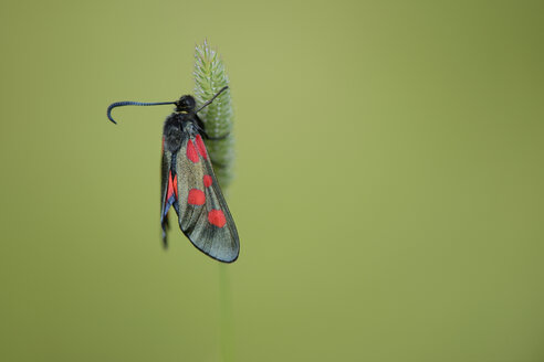 Narrow-bordered five-spot burnet - MJOF001085
