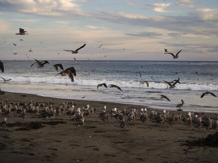 USA, California, Pismo beach, flock of sea gulls in sunset - SBDF002273