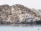 USA, California, Monterey, 17-Mile-Drive, rock with seals and birds - SBDF002245