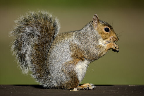 Eating Grey Squirrel - MJOF001093