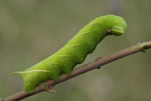Caterpillar of eyed hawk-moth on a twig - MJOF001094