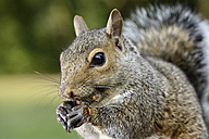 Grey squirrel, Sciurus carolinensis, eating - MJOF001101