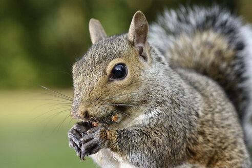 Grey squirrel, Sciurus carolinensis, eating - MJOF001101