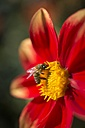 Red dahlia and European honey bee, Apis mellifera - ELF001589